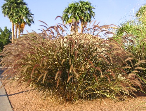 Replacing a thirsty lawn with ornamental grasses for Red and green ornamental grass
