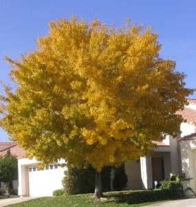 Rio Grande Fax Tex Ash autumn