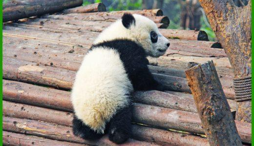 上野パンダの赤ちゃん名前の由来は?漢字の意味や選考理由を知りたい!