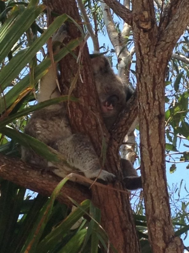 A koala in the wild - a rare sight!