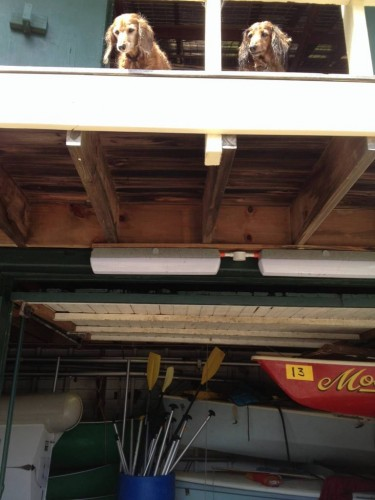 Two very wet dogs leaning over the balcony above the boat shed