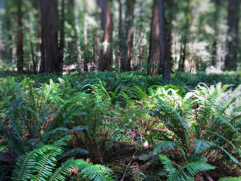 Hiking in the  California Redwoods