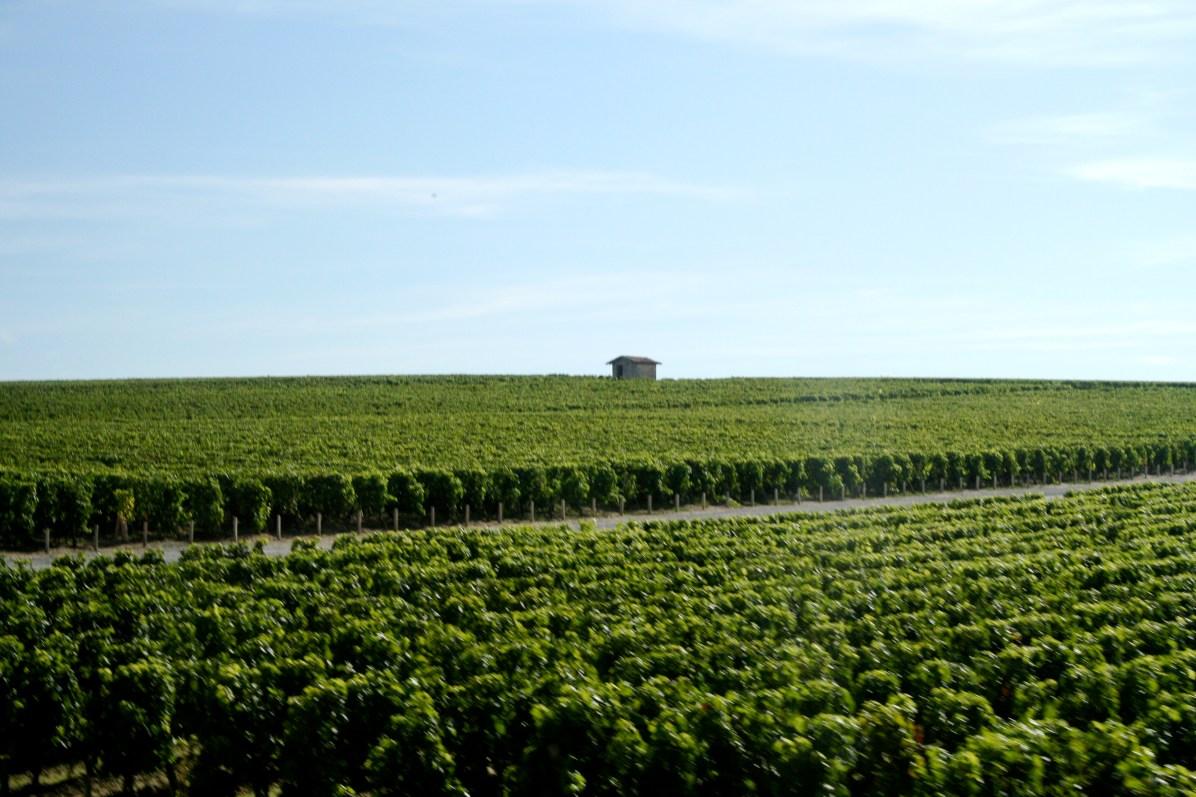 Vineyards_of_Château_Cos_D'Estournel