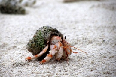 a crab, shell , hermit