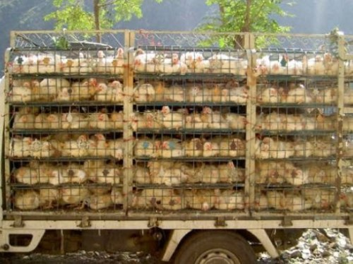 chickens on a truck
