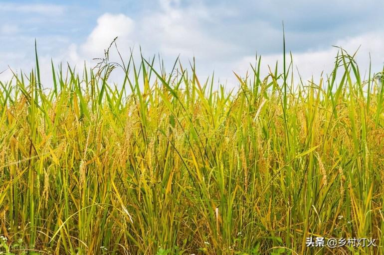 印度、泰国种植的长粒稻米,为什么我们不种?因为这三个原因