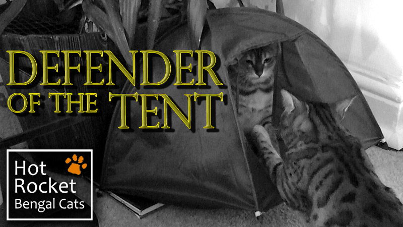 The Trouble with Tents – Bengal cats playing & hiding