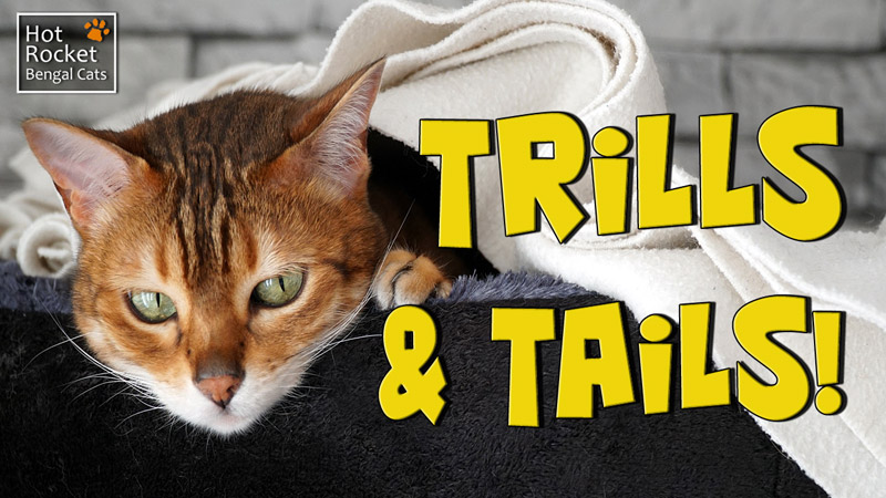 Trills and Tails! Bengal cat Sushi chases her tail on the high shelf