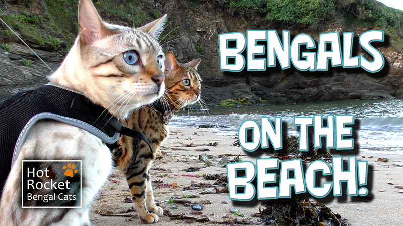 Bengals on the beach