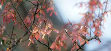 HSNP Spring Sycamore Seeds