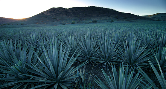 agave-field