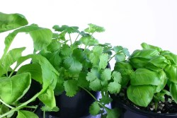 Fresh Herbs How To