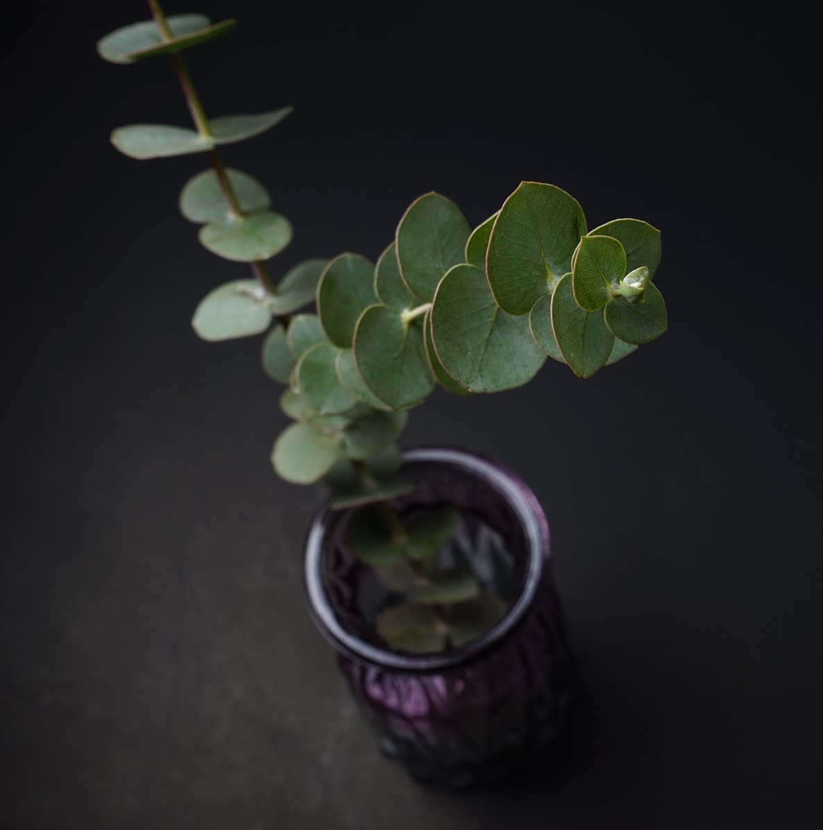 Eucalyptus Plant
