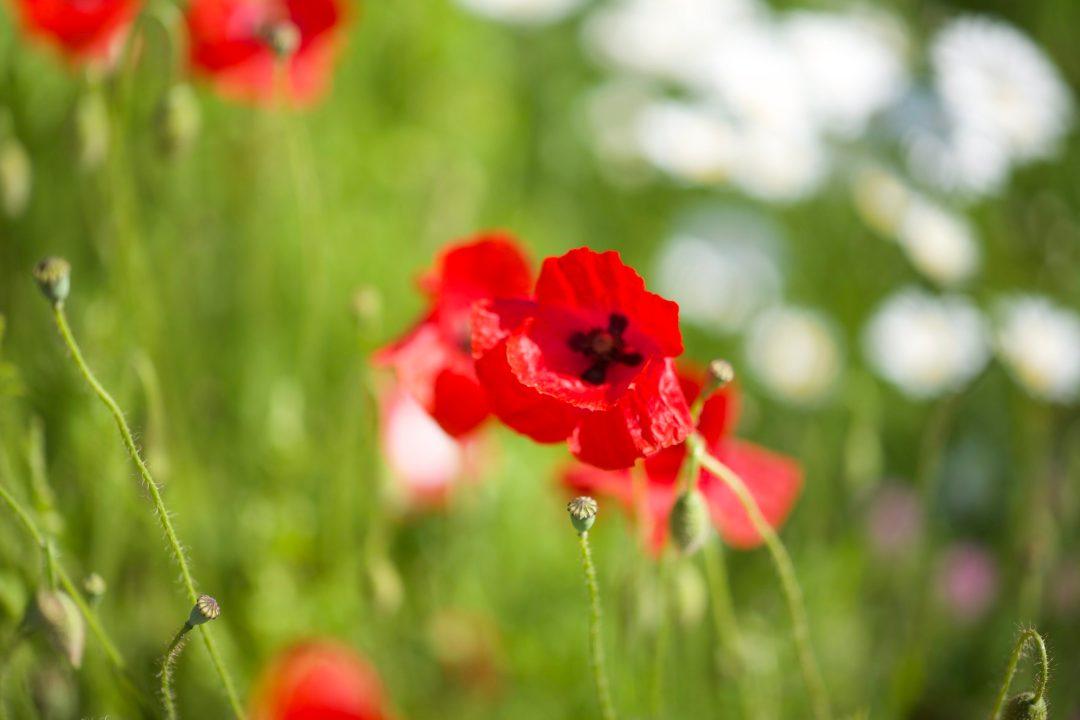 Champ fleuri au printemps dans les Bauges entre Jarsy et Doucy