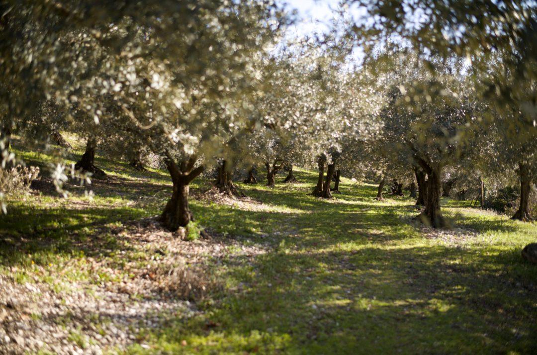 champ d'oliviers dans les Baronnies provencales