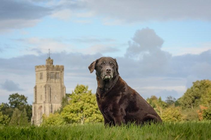 surrey dog photographer labrador