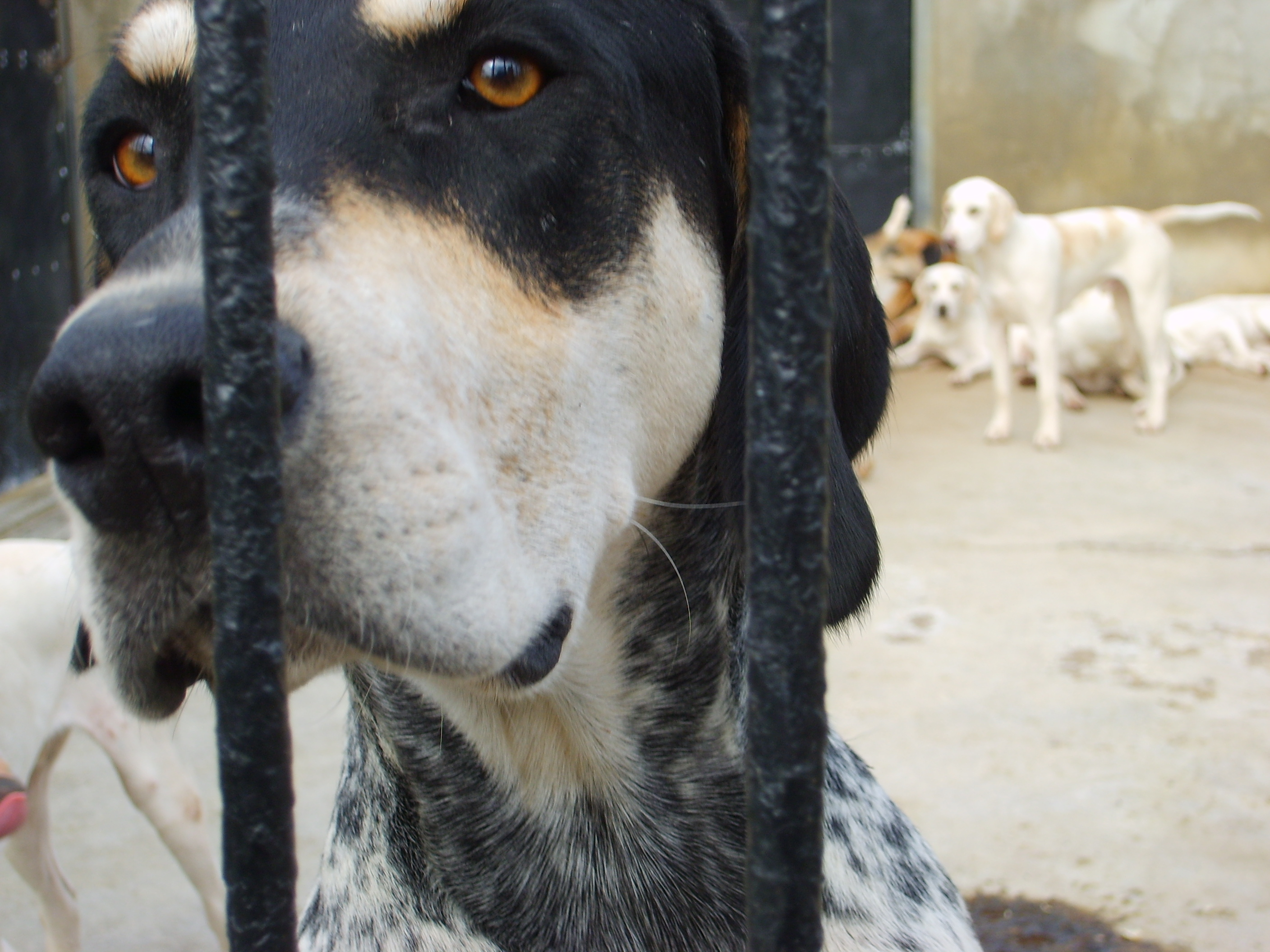 A striking young hound welcomes us to the Thurlow kennels