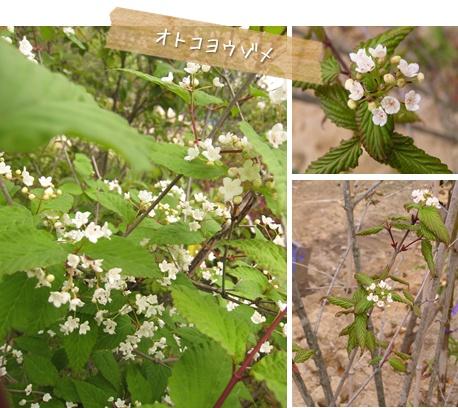 おすすめの植物 : オトコヨウゾメ