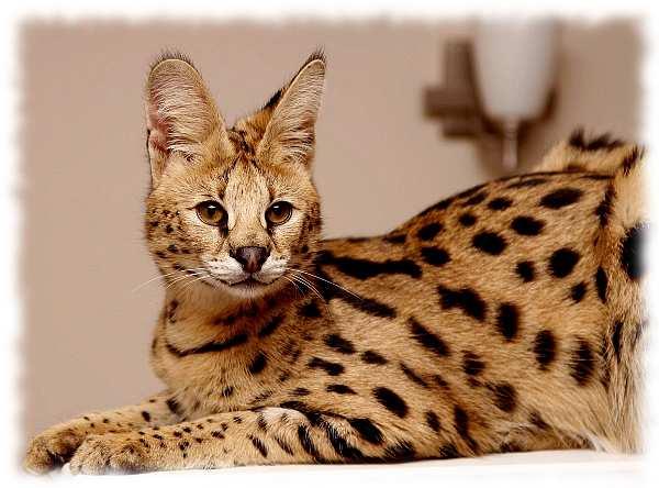 Сервал фото и цена. Описание кошек Serval cat