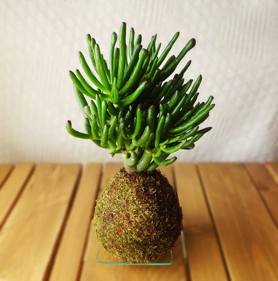 Kokedama Cactus