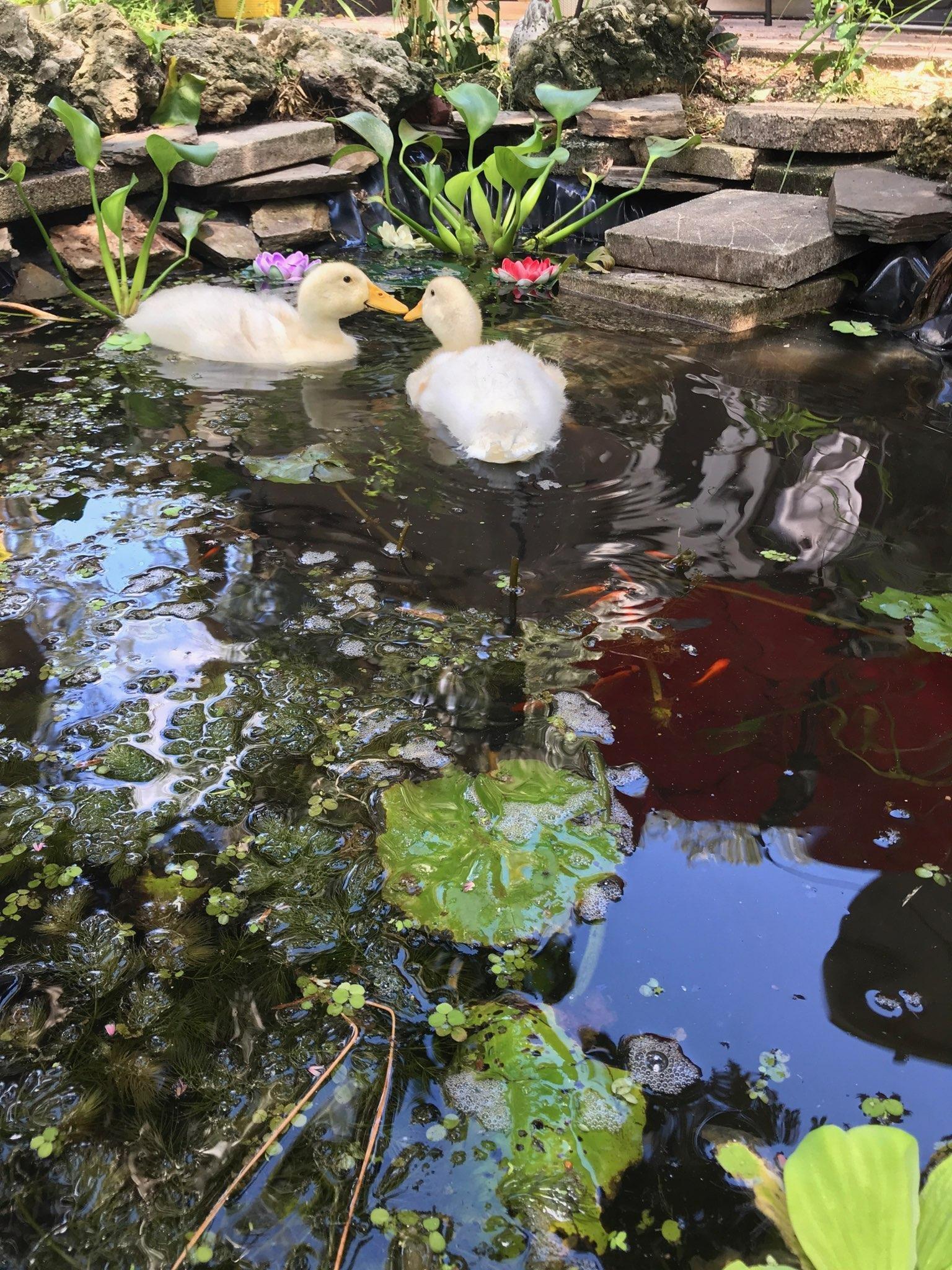 DIY Natural Duck Pond (no chemicals, pumps) with progress photos