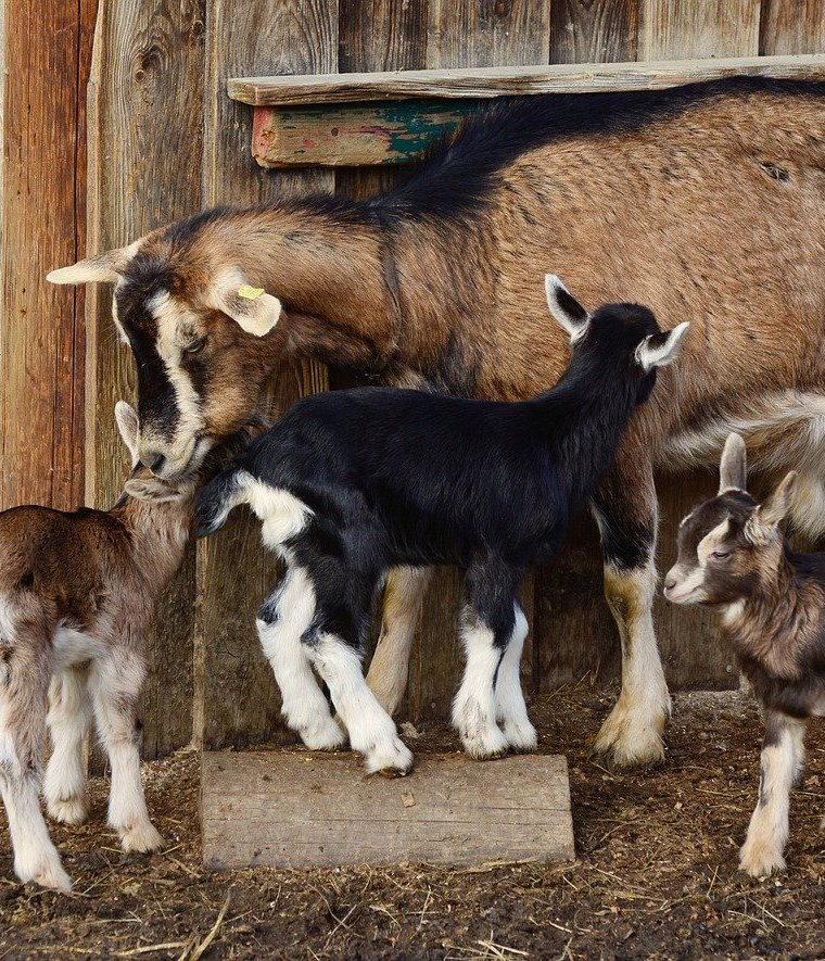 Choosing the Best Breed of Dairy Goat For Your Homestead