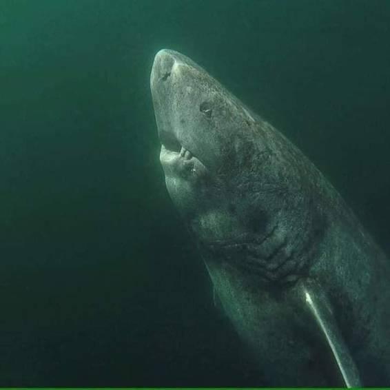 oldest living shark on the planet