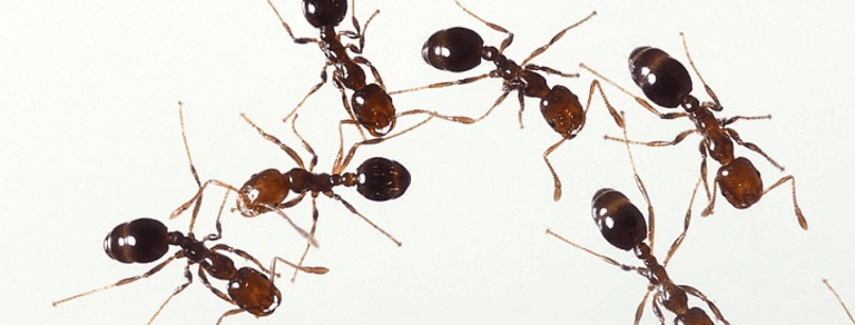How Do You Get Rid Of Fire Ants?