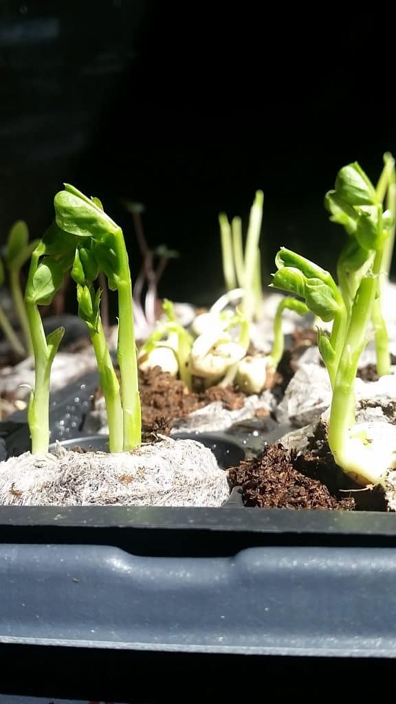 Garden Seedlings