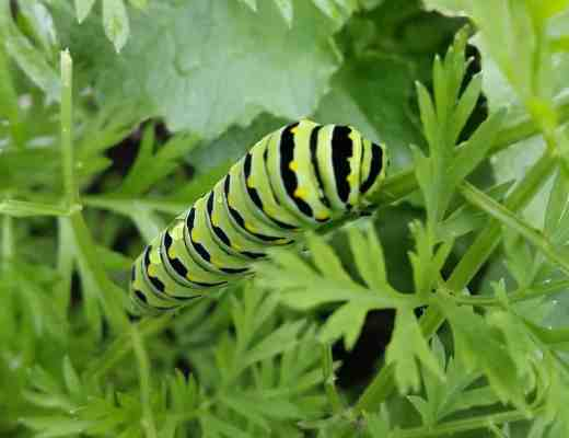 Full Grown Swallowtail Caterpillar