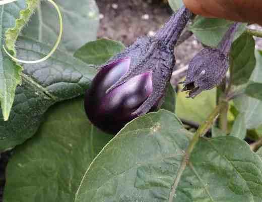 Patio Eggplant