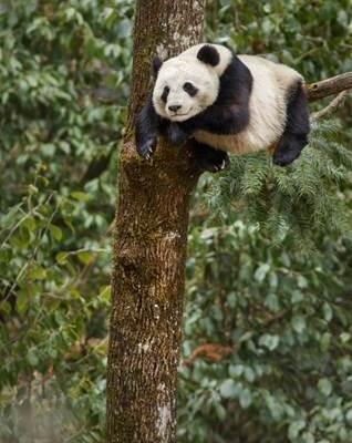 Happy National Panda Day! Born In China Opens 4/21 #BornInChina