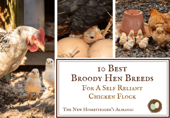 Homestead Bog Hop Feature - Best-Broody-Hen-Breeds-for-a-Self-Reliant-Chicken-Flock