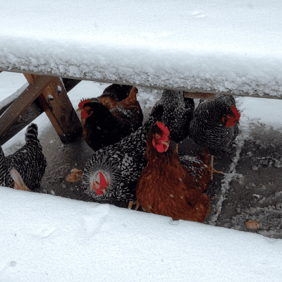 10 Effective Tips for Wintering Your Chicken Coop