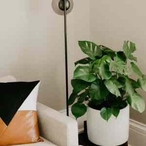 caring for your Monstera Deliciosa, AKA: Swiss Cheese Plants.⠀