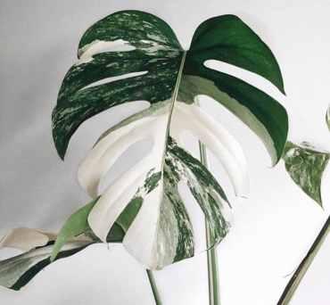 variegated monstera