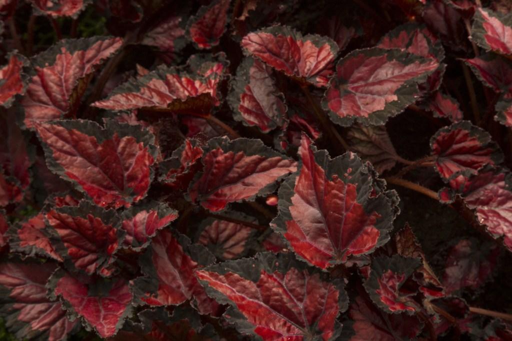 Begonia Rex-hybrid, Begonia Rex Cultorum.