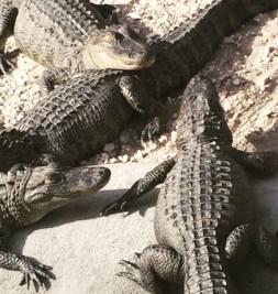 The alligator pit at the Copper Pig, in Brunwick, Georgia.