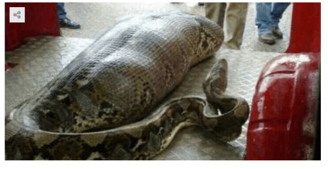 Woman found dead inside a python after missing for some days