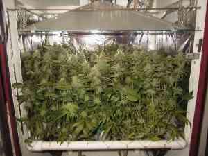 coltivare cannabis con scrog