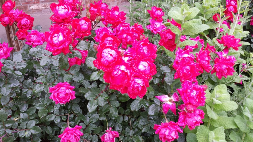 Knockout Roses HouseofIngrams.com