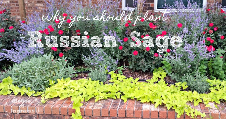 Why You Should Plant Russian Sage