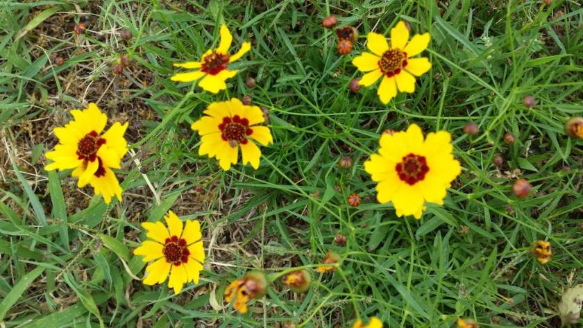 Plains Coreopsis from HouseofIngrams.com