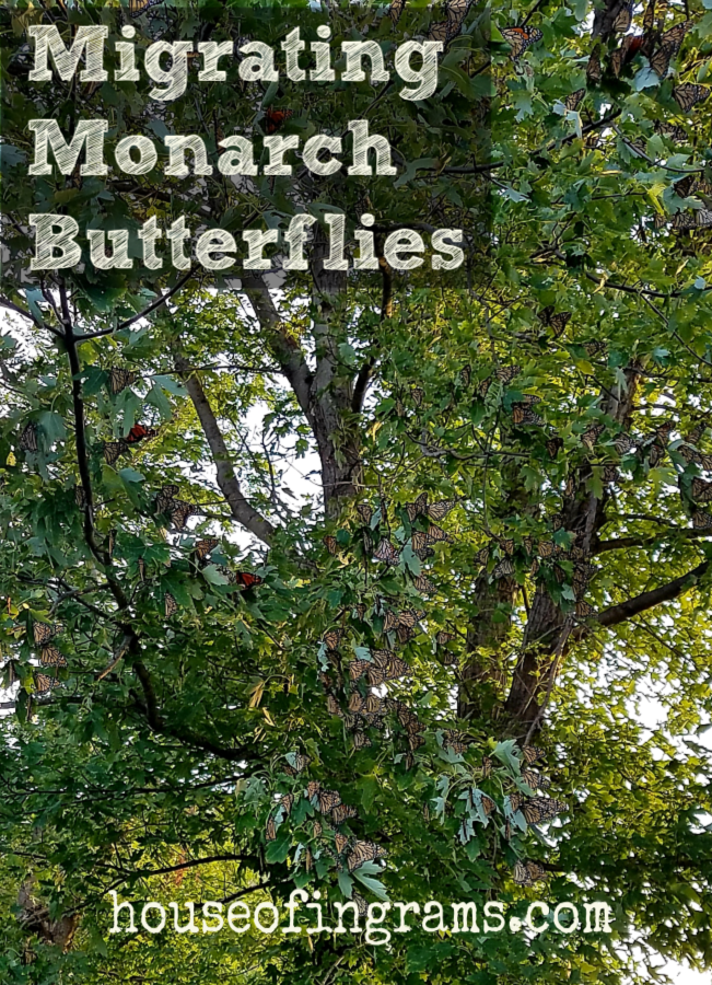 Migrating Monarch Butterflies from HouseofIngrams.com
