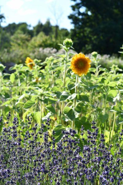sunflower fields season terre bleu