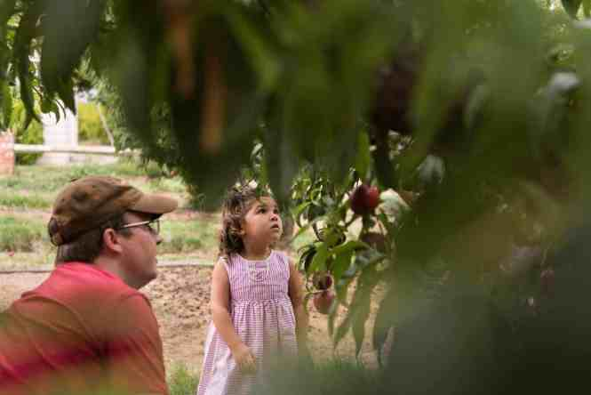 Nectarine picking