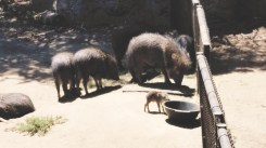 Chaocan peccaries were thought to be extinct, but they were found in Salta in 1971. They are now endangered.