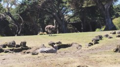 This zebra did not like its picture taken because it made sure to face away from the cameras. The ostrich didn't mind.