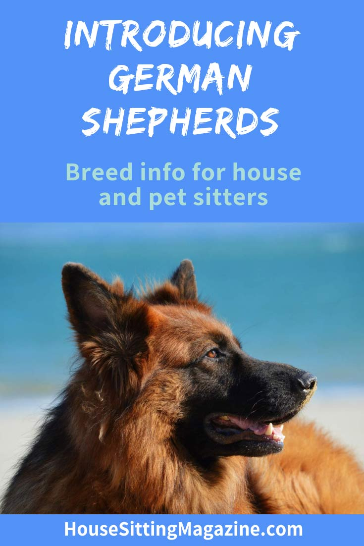 Looking after German Shepherds #housesitting #houseittingmagazine #germanshepherds #alsatians