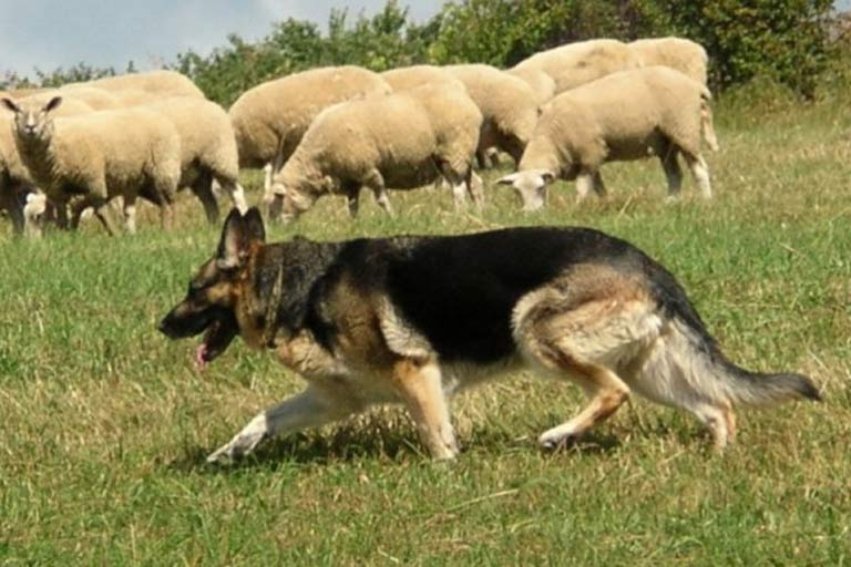 German Shepherds Herding Sheep